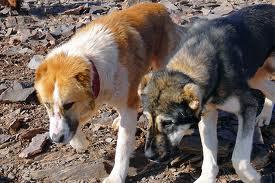 ادامه معضل سگ های ولگرد در رفسنجان/مرگ یک مرد۵۸ ساله در اثر گزیدگی سگ