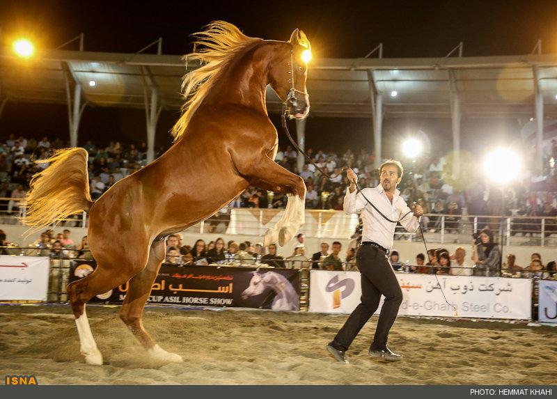 تصاویر / جشنواره زیبایی اسبهای اصیل