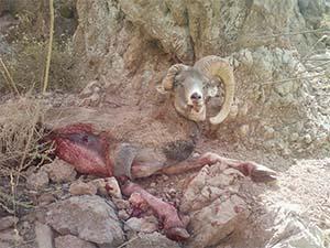 شکار ناجوانمردانه قوچ یک شاخ در منطقه رفسنجان + عکس
