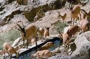 سومین آمارگیری حیوانات حیات وحش رفسنجان انجام شد