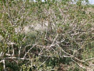 خسارت سرما به ۱۳۶۰۰ تن پسته در شهرستان رفسنجان